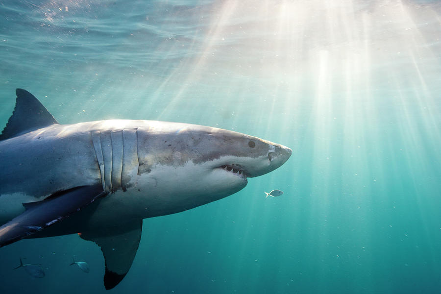 Great White Shark Photograph by Stephen Frink