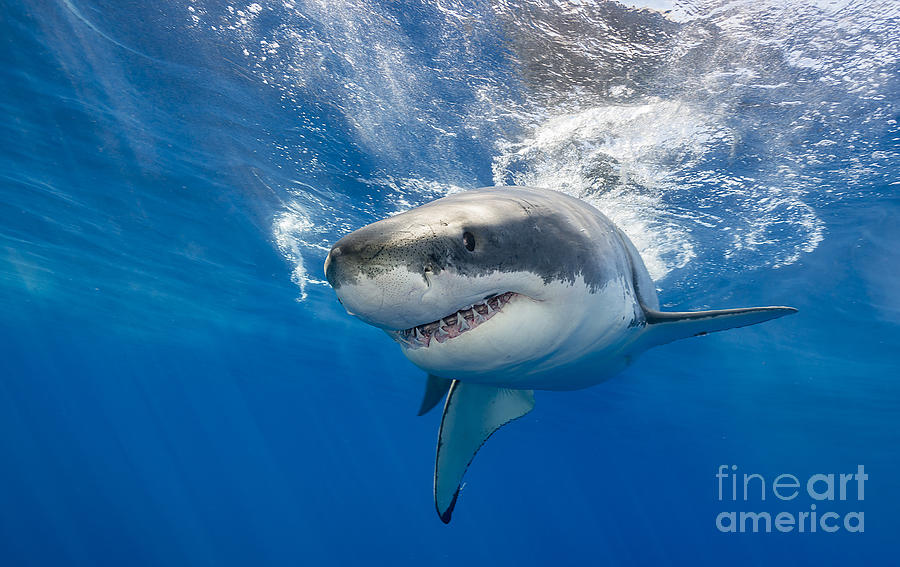Endangered Photograph - Great White Shark Swimming Just Under by Wildestanimal