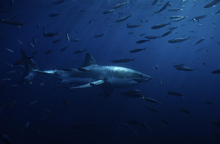 Great White Shark,carcharodon Photograph by Gerard Soury