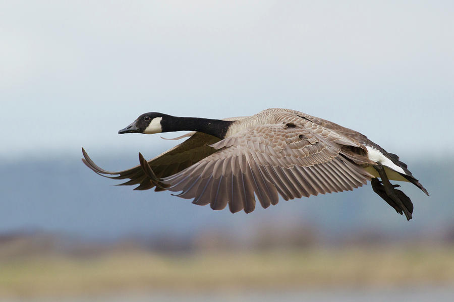 Alighting Photograph - Greater Canada Goose Alighting by Ken Archer