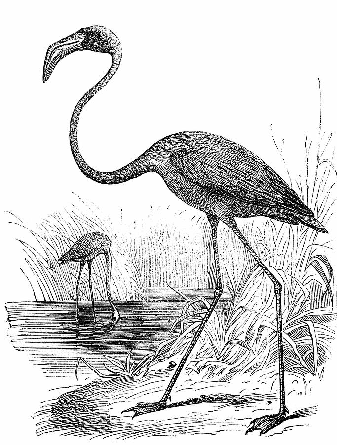 Greater Flamingo Phoenicopterus Roseus Digital Art by Ilbusca