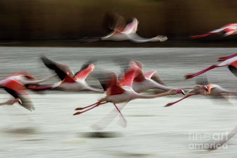Greater Flamingos, Phoenicopterus Photograph by Yann Guichaoua-photos