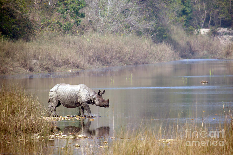No Photograph - Greater One-horned Rhinoceros Specie by Paco Como