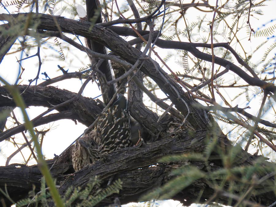 Greater Roadrunner Nesting in Mesquite Tree by Judy Kennedy