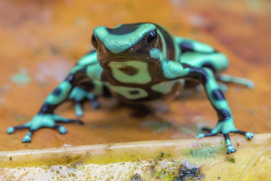 Green And Black Poison Dart Frog, Costa Rica Photograph by ...