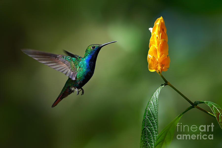 Small Photograph - Green And Blue Hummingbird by Ondrej Prosicky