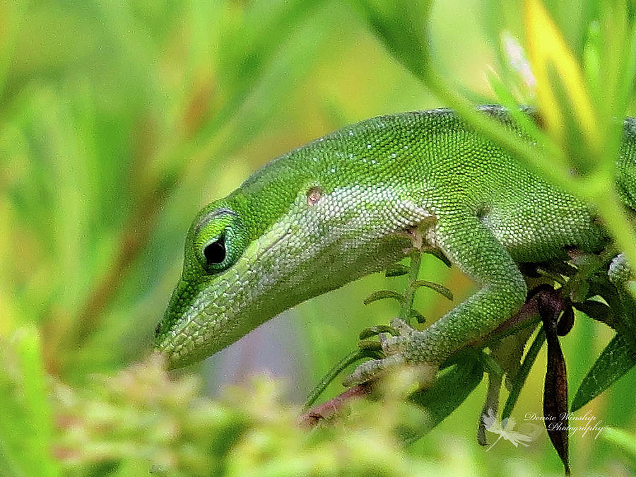 Green Anole Up Close by Denise Winship