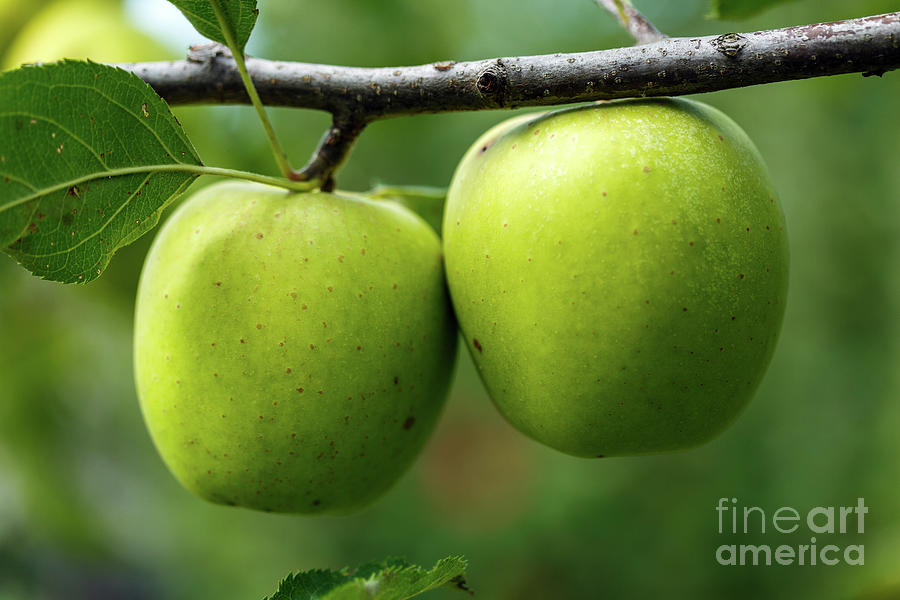 Green apples on branch by Catalin Petolea