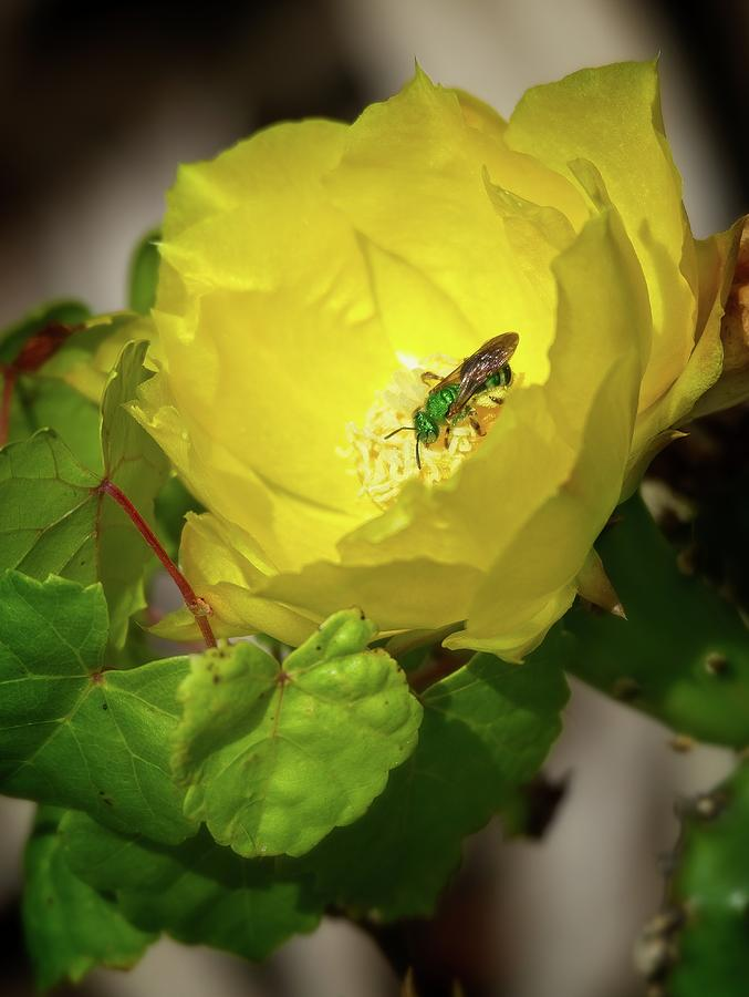 Green Bee on Cactus Flower by Steve DaPonte