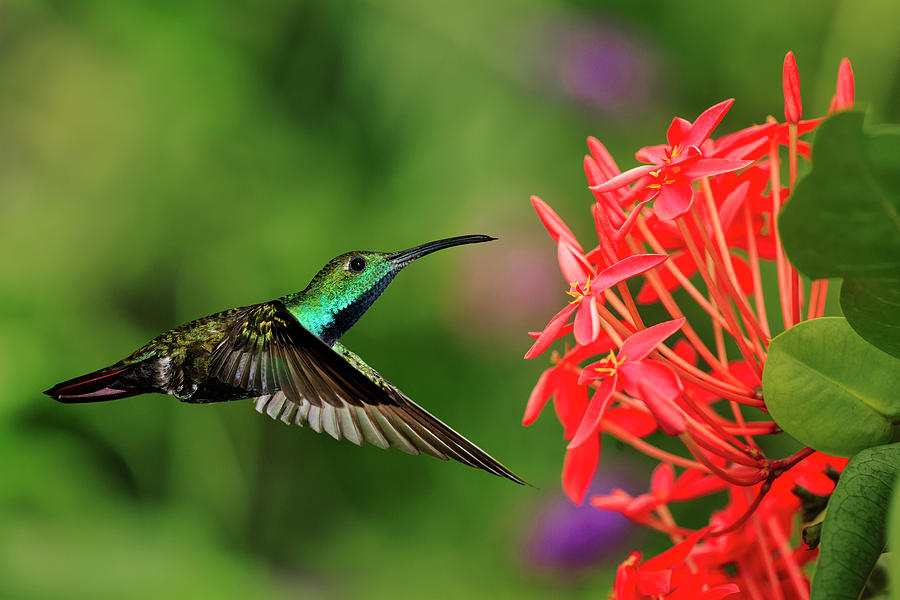 Adam Jones Photograph - Green-breasted Mango Hummingbird, Costa by Adam Jones