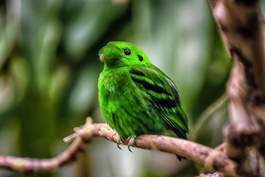 Green Broadbill Photograph by By Ken Ilio