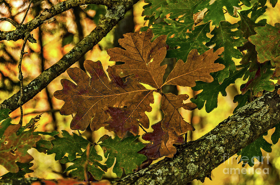 Green, Brown, and Purple Oak Leaves Against a Bright Yellow Background  by Sue Smith