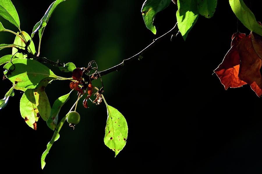 Green Crab Apples And Leaves by Jerry Sodorff