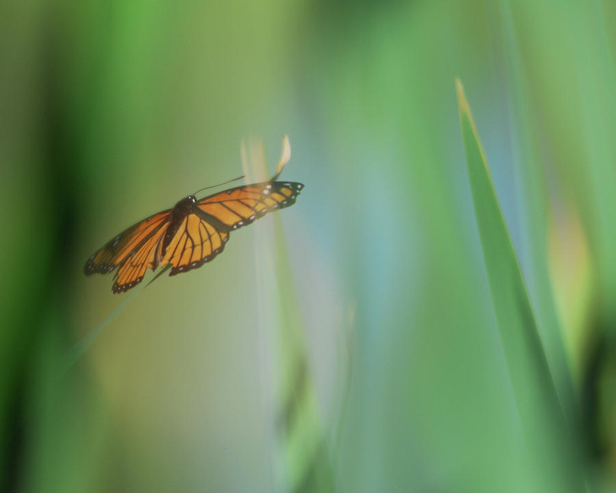 Green Dreams Close Up Monarch Butterfly Photograph