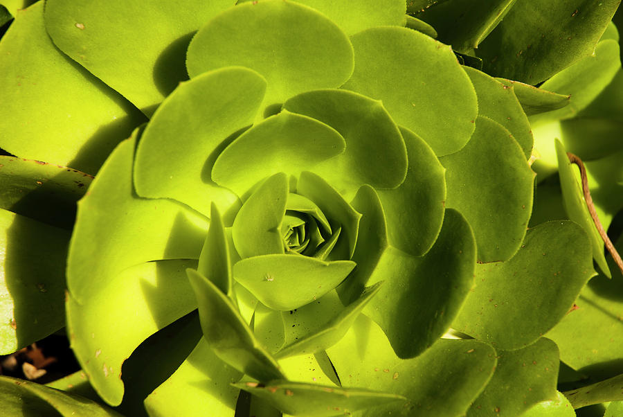 Green Echeveria by Yulia Kazansky