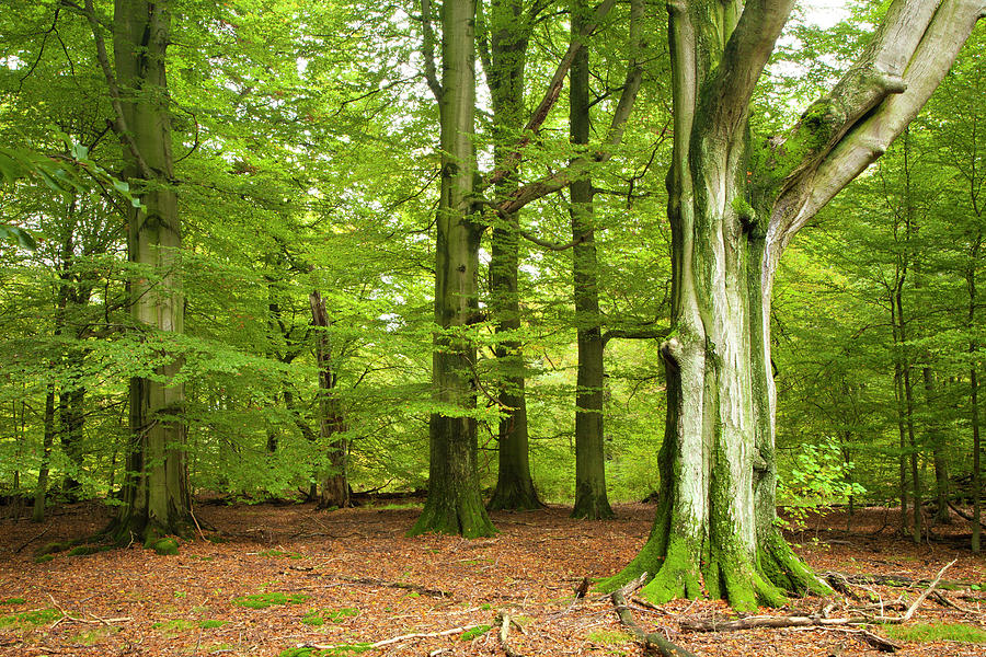 Green Forest Of Old Beech Trees Photograph by Avtg