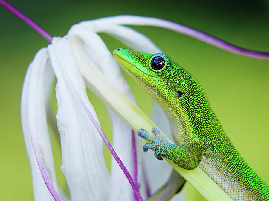 Green Gecko Photograph by Pete Orelup