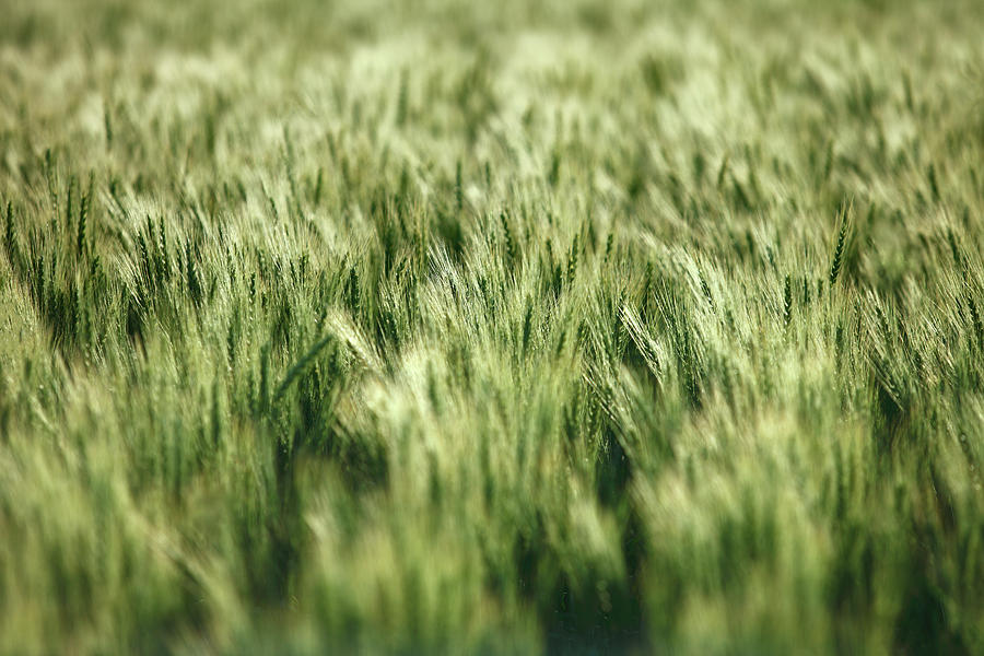 Green Photograph - Green Growing Wheat by Todd Klassy