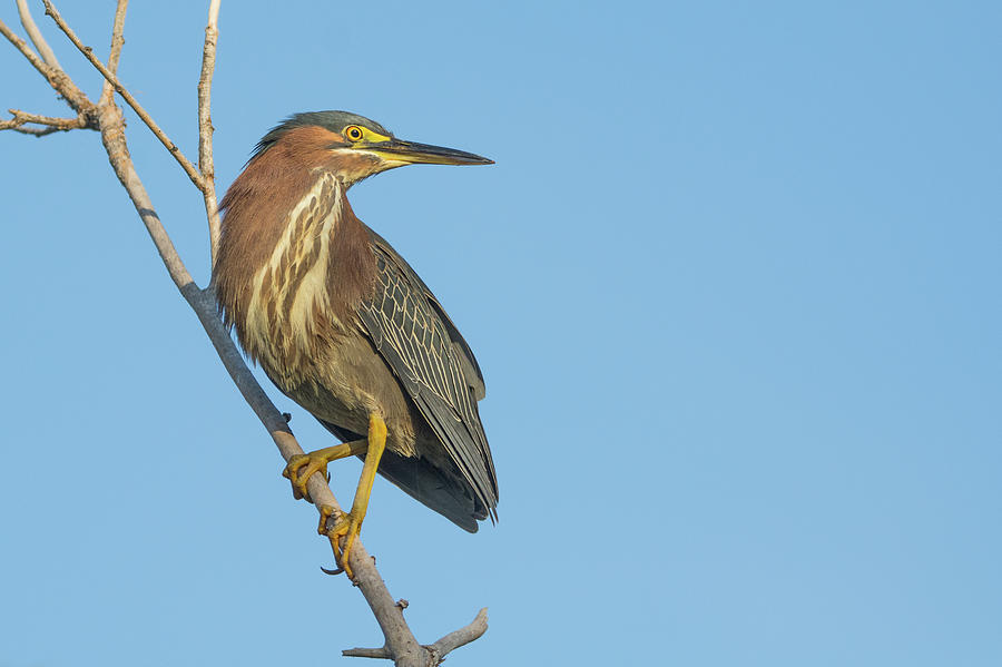 Green Heron 6193-06219 by Tam Ryan