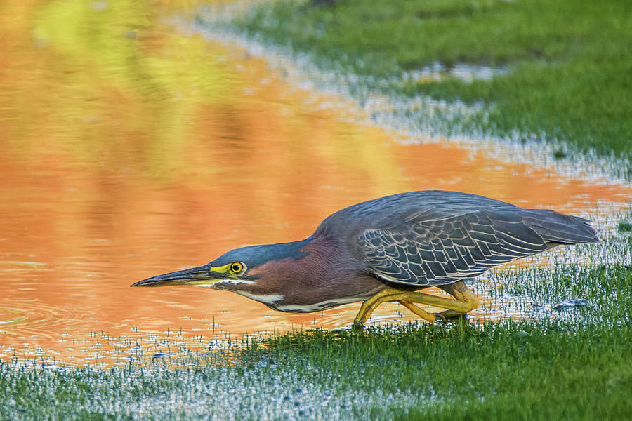 Green Heron 6227-061219-2 by Tam Ryan