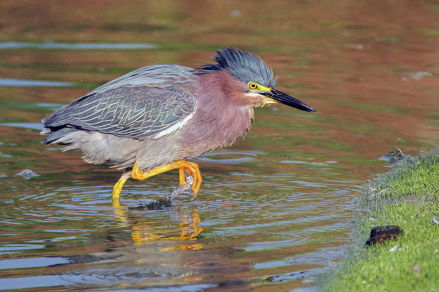 Green Heron 6287-061219 by Tam Ryan