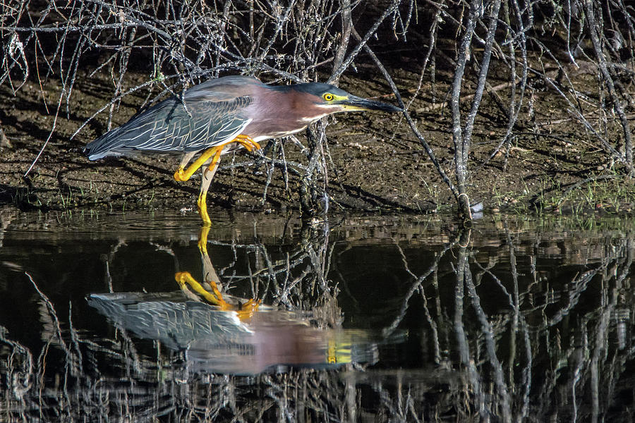 Green Heron 6569-061419 by Tam Ryan