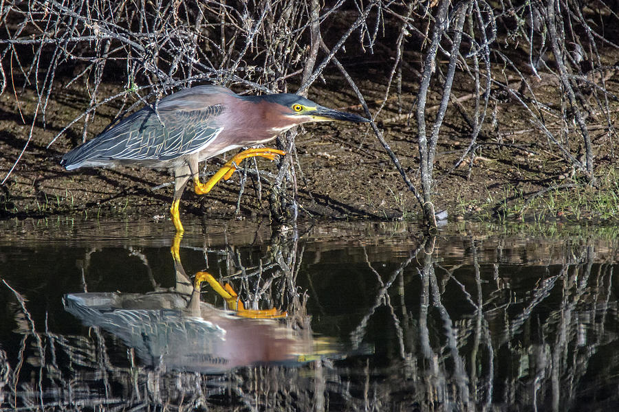 Green Heron 6570-061419 by Tam Ryan