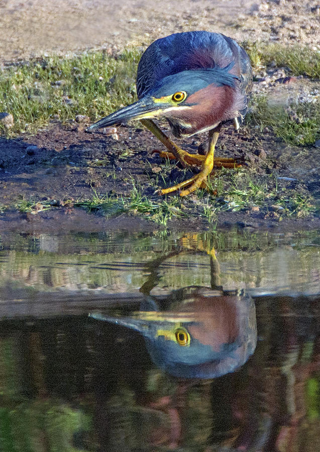 Green Heron 6574-061419 by Tam Ryan
