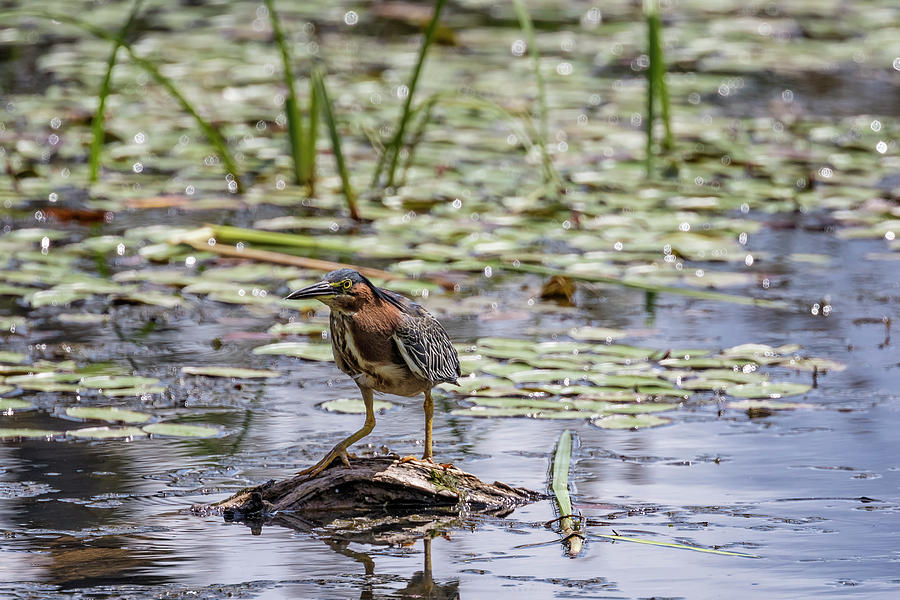 Green Heron at Delta Ponds by Belinda Greb