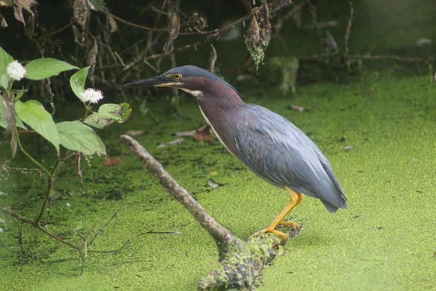 Green Heron Photograph - Green Heron by Callen Harty