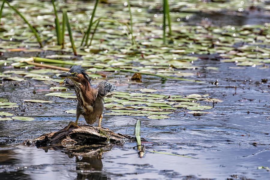 Green Heron Landing by Belinda Greb
