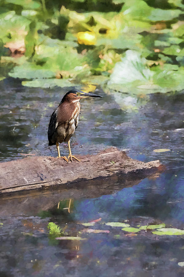 Green Heron with a Painterly Background of Water Lilies by Belinda Greb