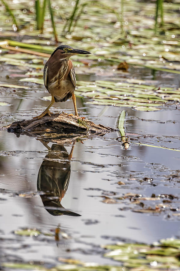 Green Heron with Reflection, Vertical by Belinda Greb