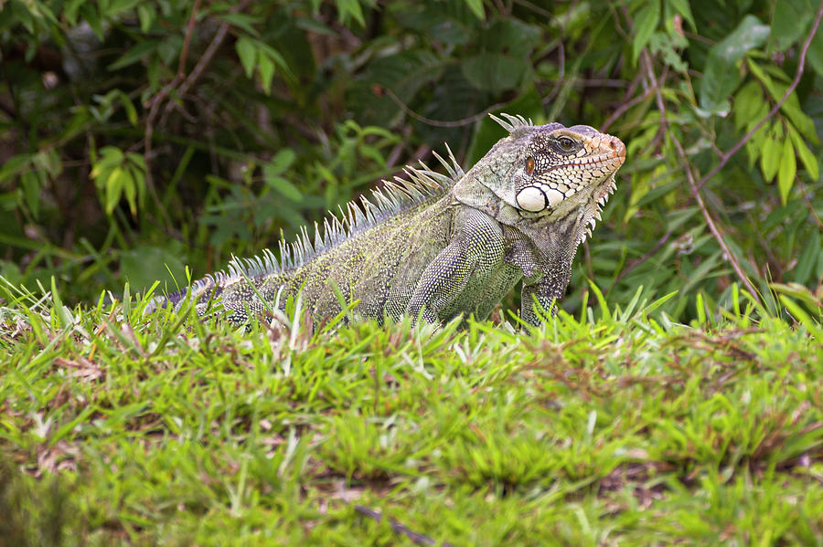 Green Iguana Hato Barley Tauramena Casanare Colombia by Adam Rainoff