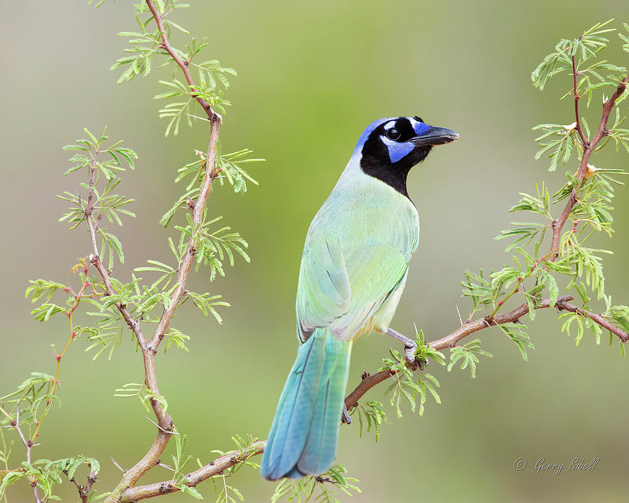 Green Jay by Gerry Sibell