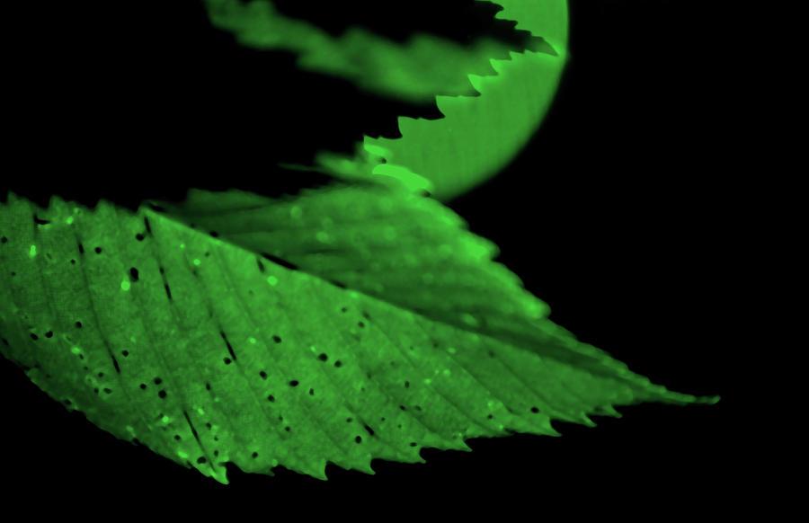 Leaf Photograph - Green Leaf in Sun by Lonnie Paulson
