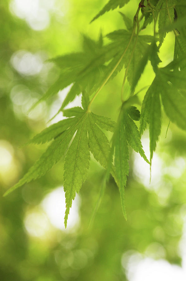 Green Leaves Of Japanese Maple Tree Photograph By Jenny Rainbow