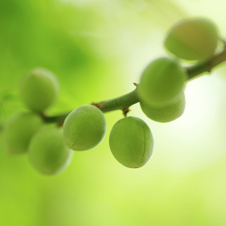 Green Plums Photograph by Tnwy
