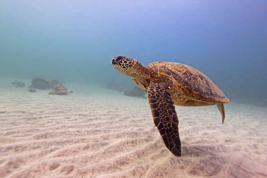 Green Sea Turtle Photograph by Chris Stankis
