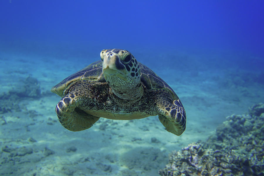 Green Sea Turtle by Harry Donenfeld