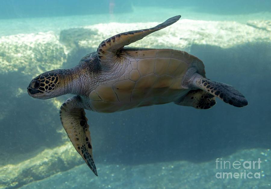 Green Sea Turtle by Mike Dawson