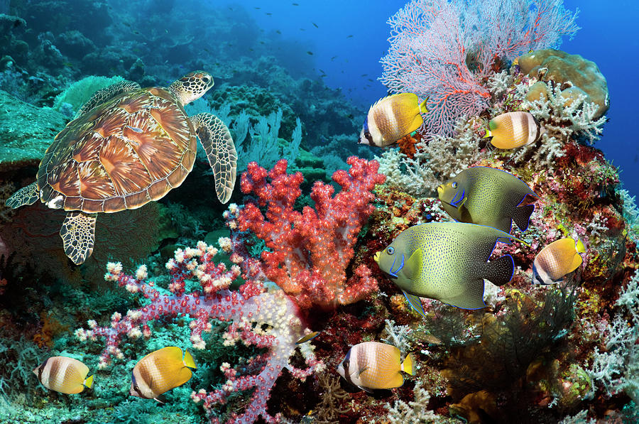 Green Sea Turtle Over Coral Reef Photograph by Georgette Douwma