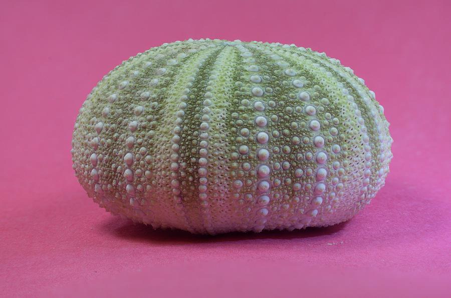 Green Sea Urchin Shell by Douglas Barnett