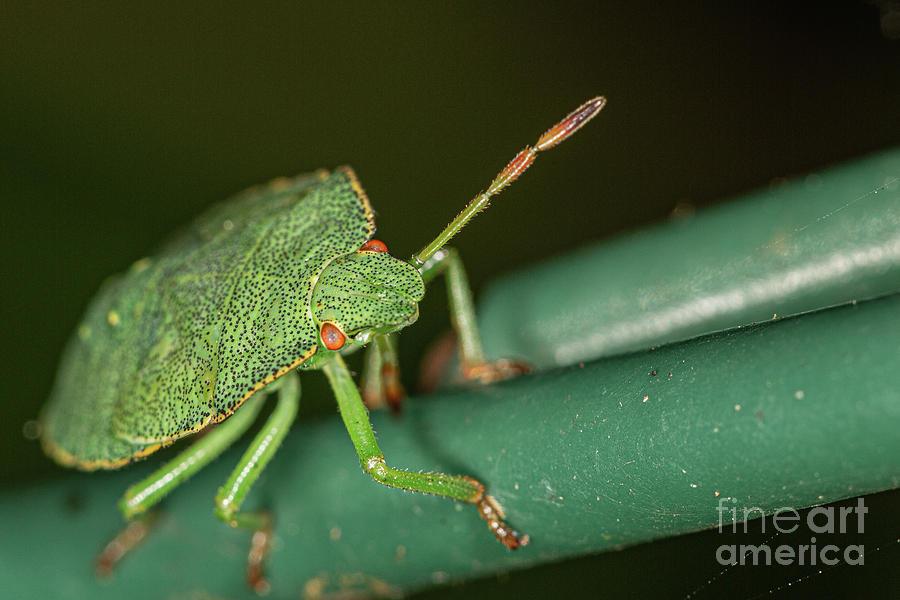Green Shield Bug Nymph. by Brian Roscorla