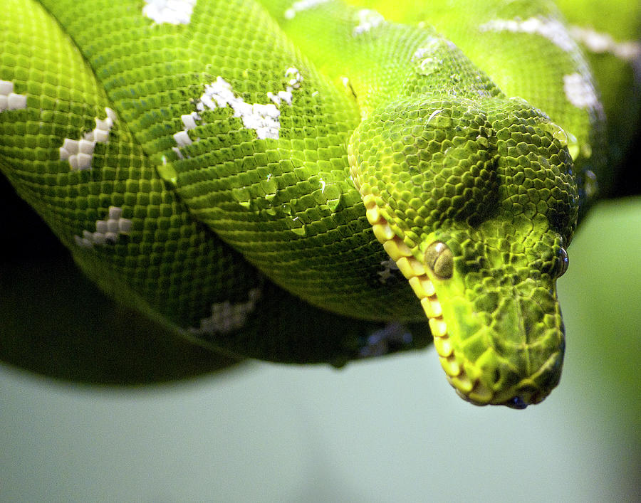 Green Snake Curled And Resting Photograph by Gail Shotlander
