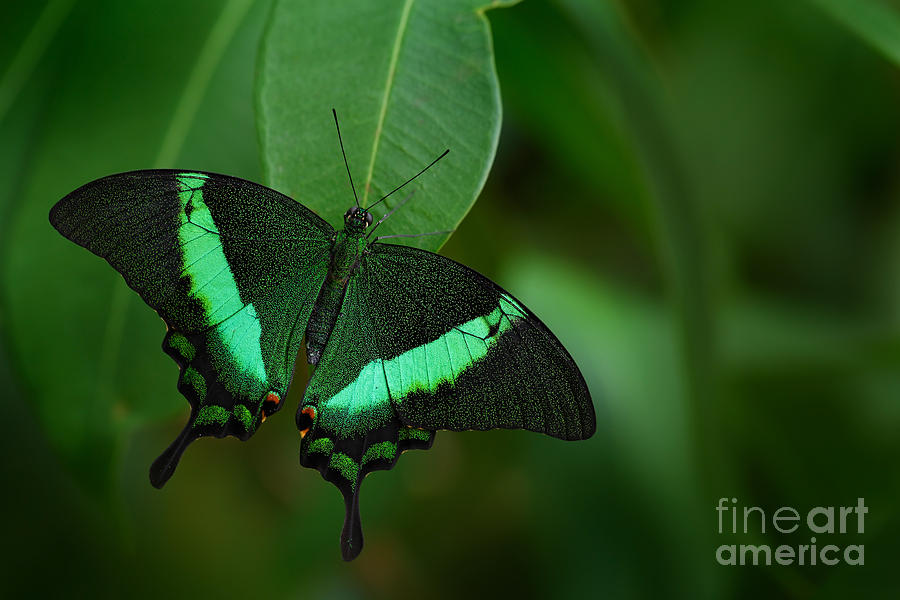 Delicate Photograph - Green Swallowtail Butterfly Papilio by Ondrej Prosicky