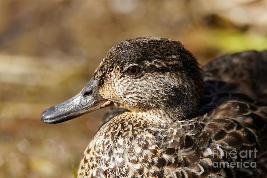 Green Teal Duck Portrait Photograph