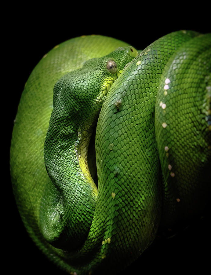 Green Tree Boa by ELAINE MALOTT