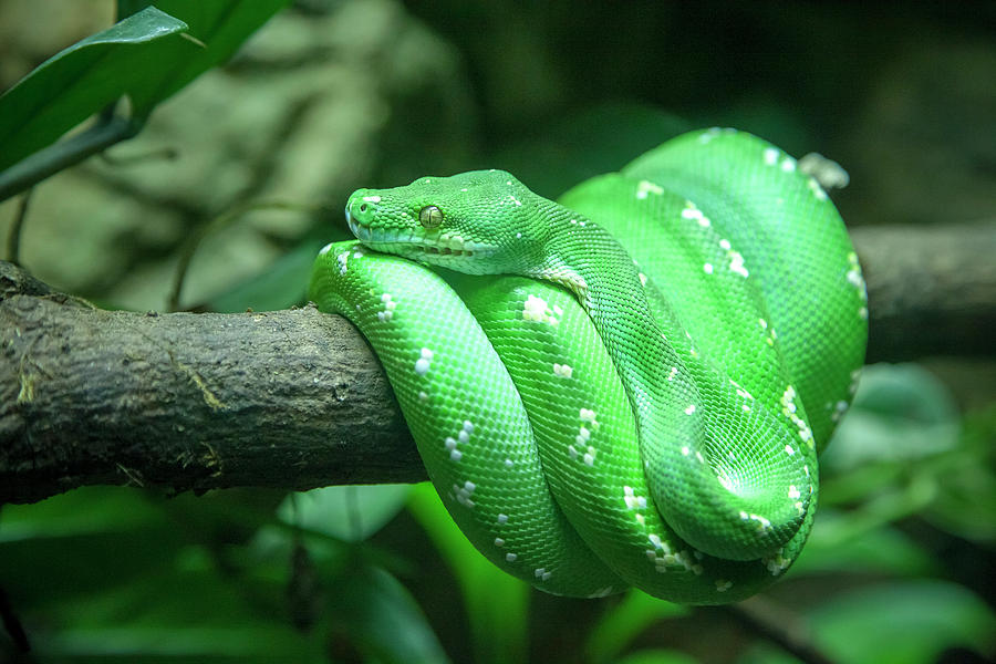 Green Tree Python by Cheltenham Media