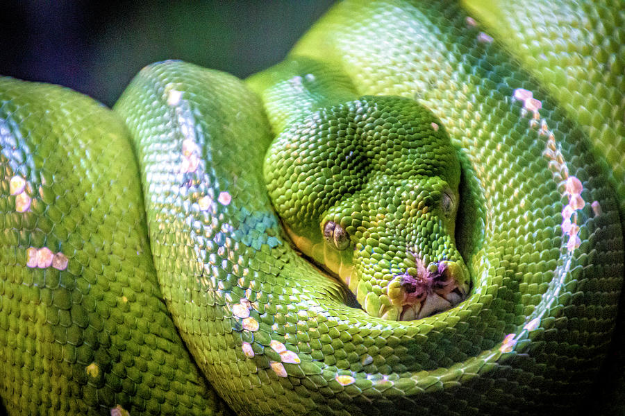 Green Tree Python by Donald Pash